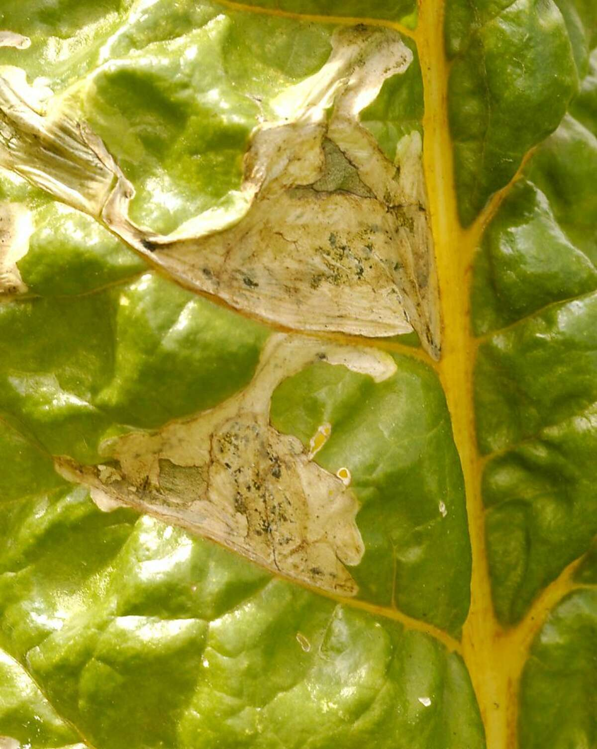 Beet leafminers feed inside chard leaves, causing ugly and unappetizing blotches.