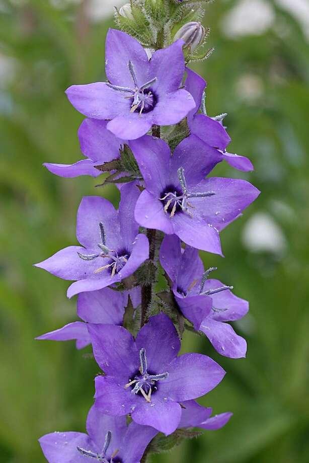 Purplish C Primulifolia An Easy Growing Perennial Sfgate