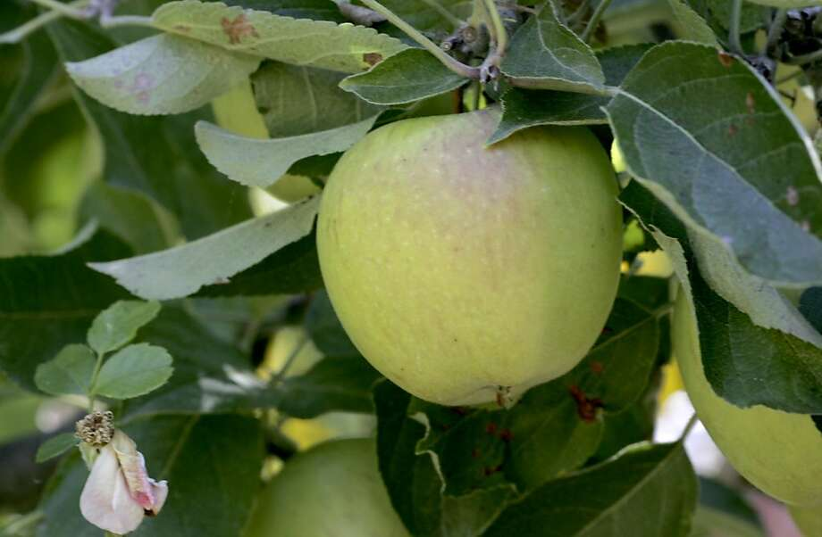 A Braeburn apple tree in the garden yields lots of good fruit that can be picked and eaten right from the tree. East Bay landscape designers who usually work on ornamental gardens are now putting in edible sections including tomato beds, zucchini and fruit trees. A garden designed by Ros Creasy on Alvarado Road in Berkeley is being tended by gardener Joe Queirolo. Photo: Brant Ward, The Chronicle