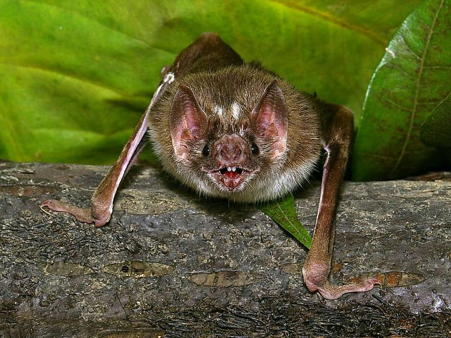 The vampire bat, Desmodus rotundus, must find a blood meal every 1 -2 days to survive. Razor sharp teeth and infrared-sensing 'pit organs' surrounding its nose help the bat achieve this goal. Photo: Dr. Pascual Soriano, UCSF