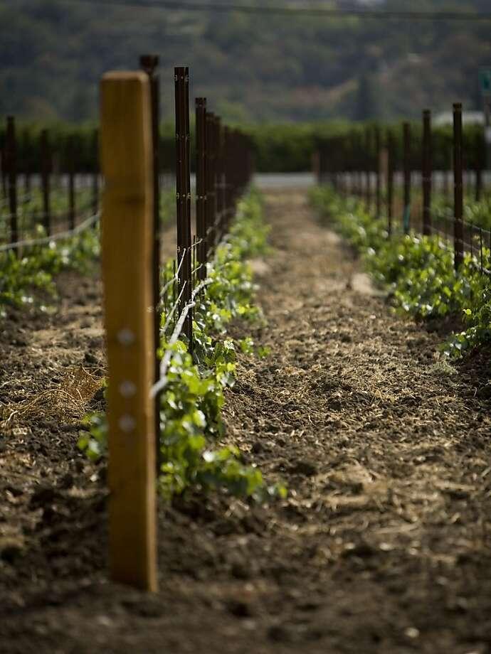 A row of Grenache vines at Landmark Vineyards in Sonoma County. Photo: Courtesy Landmark Vineyards