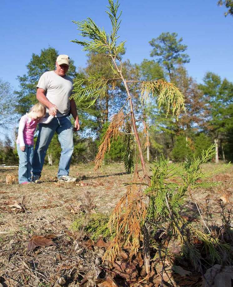 Drought Has Christmas Tree Growers On Pins And Needles