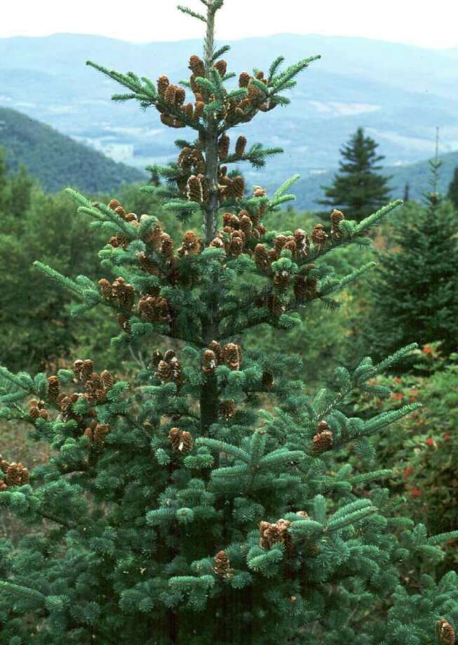 Balsam fir is the perfect Christmas tree - Times Union