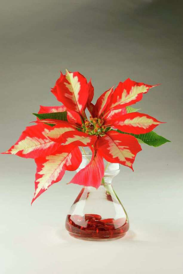 Build A Poinsettia Tree For A Tabletop Houston Chronicle