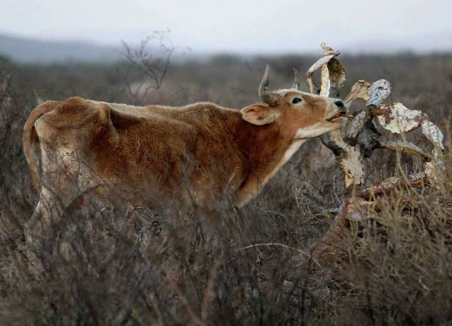 ASSOCIATED PRESS THIRST, HUNGER: A cow tries to eat from a dried cactus on a field near Torreon, Mexico. The country is seeing the worst drought since 1941. The drought is likely to continue through the winter, and spring may not bring the rain needed to recover. Photo: Alberto Puente / AP