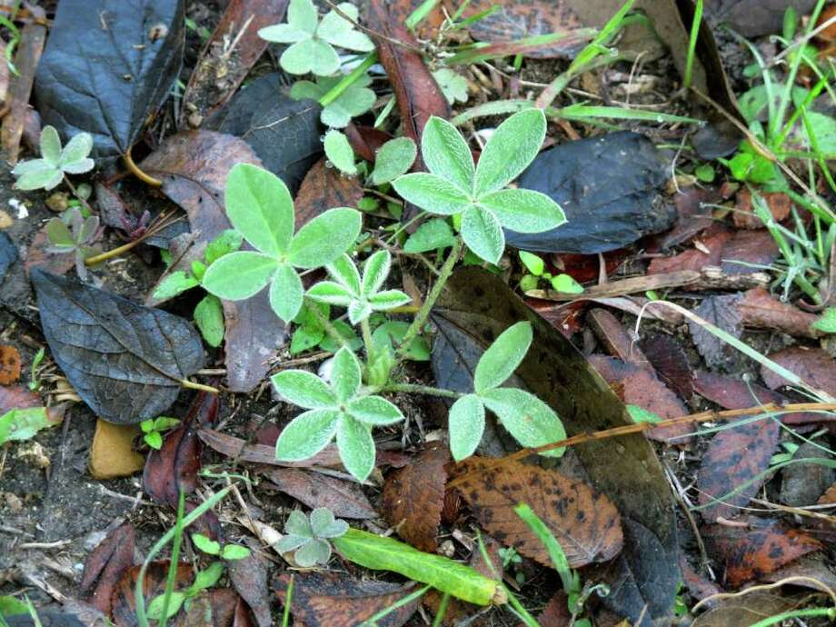 This bluebonnet seedling is one of dozens that recently appeared along a path on the Mims place. Photo: Forrest M. Mims III, For The Express-News