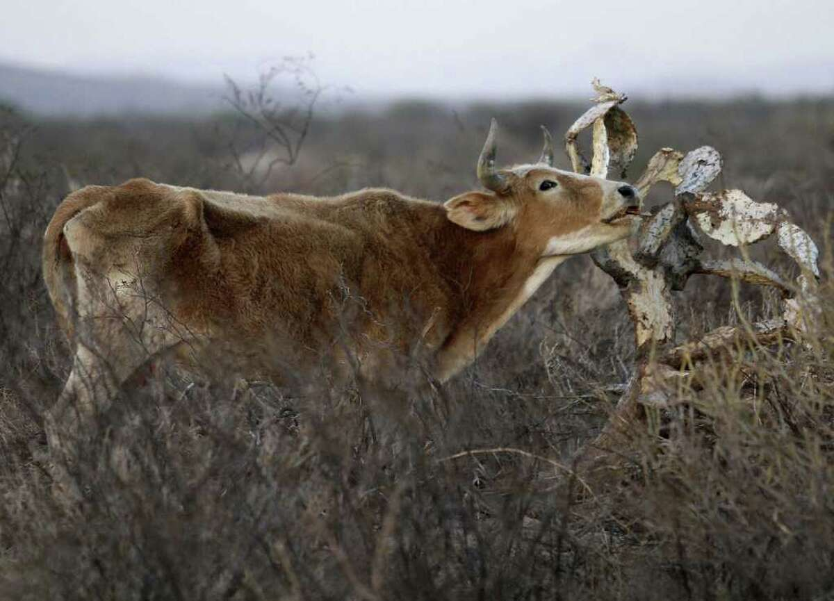 A cow tries to eat from a dried-out cactus in a field near Torreon, Mexico. Weather experts say drought will continue to plague northern Mexico during the winter months, and the situation likely will worsen.