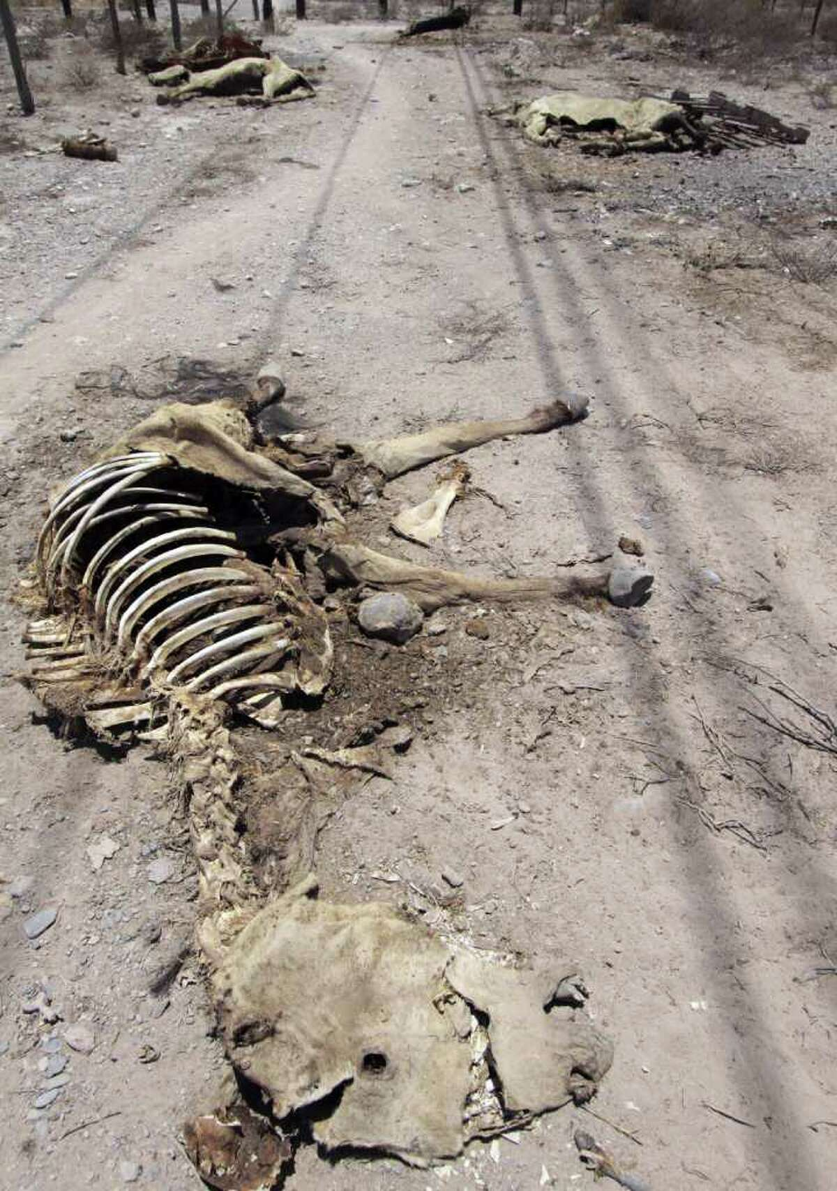 The remains of dead animals lay on a rural road on the outskirts of Torreon in northern Mexico. Officials say the situation likely will worsen.