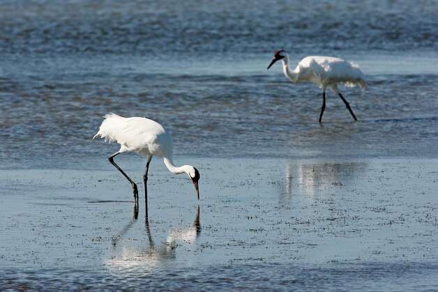 A couple of whooping cranes feed in the Aransas National Wildlife Refuge, Tuesday, Nov. 29, 2011. Area folks are suing the state for control of water from the rivers that empty into the refuges. With the ongoing drought and low river water flow, high salinity in the waters of the bay caused a bloom of red tide that lead to the closing of the oyster season and the decline in blue crabs. The crabs are the main source of food for the cranes. Proponents of the lawsuit state that excessive pumping of the fresh waters from the river systems has contributed to current conditions. JERRY LARA/glara@express-news.net Photo: JERRY LARA, San Antonio Express-News / SAN ANTONIO EXPRESS-NEWS