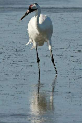 METRO – A whooping crane feed in the Aransas National Wildlife Refuge, Tuesday, Nov. 29, 2011. Area folks are suing the state for control of water from the rivers that empty into the refuges. With the ongoing drought and low river water flow, high salinity in the waters of the bay caused a bloom of red tide that lead to the closing of the oyster season and the decline in blue crabs. The crabs are the main source of food for the cranes. Proponents of the lawsuit state that excessive pumping of the fresh waters from the river systems has contributed to current conditions. JERRY LARA/glara@express-news.net Photo: JERRY LARA, San Antonio Express-News / SAN ANTONIO EXPRESS-NEWS