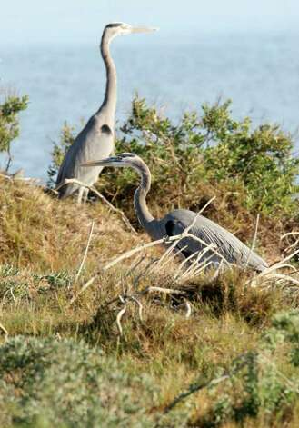Blue Heron nest on an island off the Aransas National Wildlife Refuge, Tuesday, Nov. 29, 2011. The Aransas Project is suing officials with the Texas Commission on Environmental Quality for what they content is a failure to control the flow of fresh water from the rivers that empty into the refuges that contributed to the death of whooping cranes between 2008-2009. With the ongoing drought and low river water flow, high salinity in the waters of the bay caused a bloom of red tide that lead to the closing of the oyster season and the decline in blue crabs. The crabs are the main source of food for the cranes. Photo: JERRY LARA, Jerry Lara/glara@express-news.net / SAN ANTONIO EXPRESS-NEWS