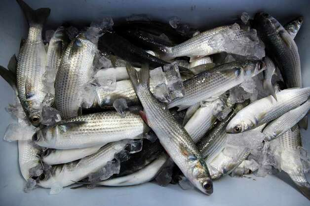 Mullet are packed in ice at the Salty Dogs Bait Shop in Rockport, Texas, Tuesday, Nov. 29, 2011. According to shop owner Ron Coble, baitfish is harder to catch due to the Red Tide in the area. The Aransas Project is suing officials with the Texas Commission on Environmental Quality for what they content is a failure to control the flow of fresh water from the rivers that empty into the refuges that contributed to the death of whooping cranes between 2008-2009. With the ongoing drought and low river water flow, high salinity in the waters of the bay caused a bloom of red tide that lead to the closing of the oyster season and the decline in blue crabs. The crabs are the main source of food for the cranes. Photo: JERRY LARA, Jerry Lara/glara@express-news.net / SAN ANTONIO EXPRESS-NEWS