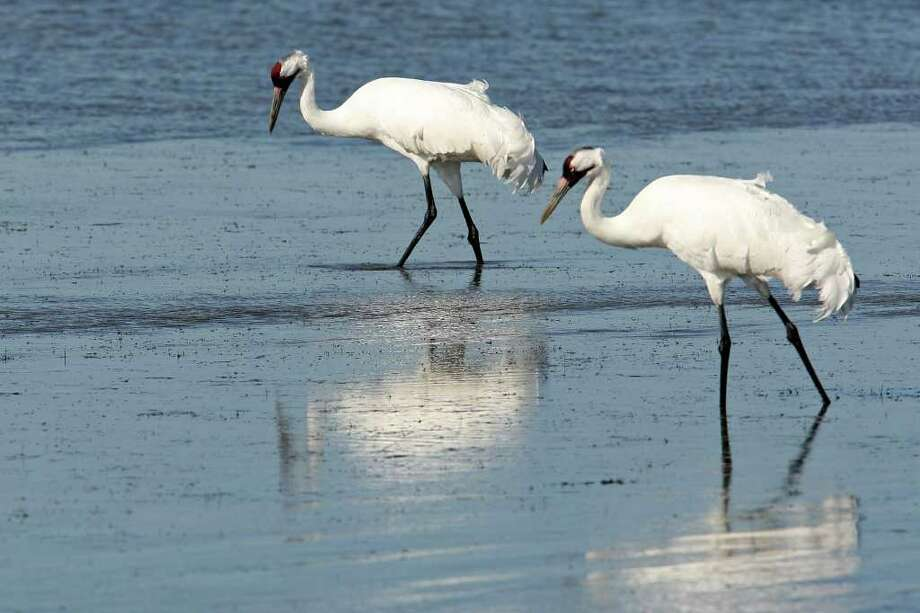A couple of whooping cranes feed in the Aransas National Wildlife Refuge, Tuesday, Nov. 29, 2011. Area folks are suing the state for control of water from the rivers that empty into the refuges. With the ongoing drought and low river water flow, high salinity in the waters of the bay caused a bloom of red tide that lead to the closing of the oyster season and the decline in blue crabs. The crabs are the main source of food for the cranes. Proponents of the lawsuit state that excessive pumping of the fresh waters from the river systems has contributed to current conditions. Photo: JERRY LARA, Jerry Lara/glara@express-news.net / SAN ANTONIO EXPRESS-NEWS