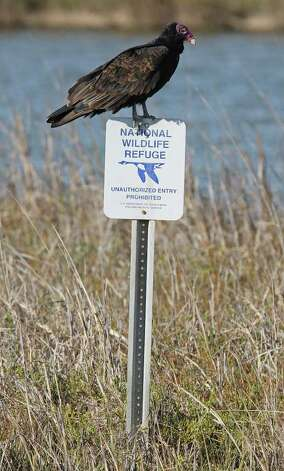 A turkey vulture perches on a sign in the Aransas National Wildlife Refuge to see the arrival of the endangered Whooping Cranes, Tuesday, Nov. 29, 2011.The Aransas Project is suing officials with the Texas Commission on Environmental Quality for what they content is a failure to control the flow of fresh water from the rivers that empty into the refuges that contributed to the death of whooping cranes between 2008-2009. With the ongoing drought and low river water flow, high salinity in the waters of the bay caused a bloom of red tide that lead to the closing of the oyster season and the decline in blue crabs. The crabs are the main source of food for the cranes. Photo: JERRY LARA, Jerry Lara/glara@express-news.net / SAN ANTONIO EXPRESS-NEWS