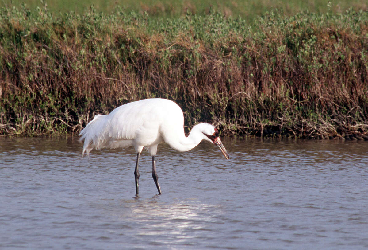 FEATURES / ADVANCE FOR JULIE COOPER -- TEXAS COASTAL FUN -- Whooping Crane, ENDANGERED SPECIES CREDIT: EXPRESS-NEWS FILE PHOTO -- [ORIGINAL SOURCE UNKNOWN]