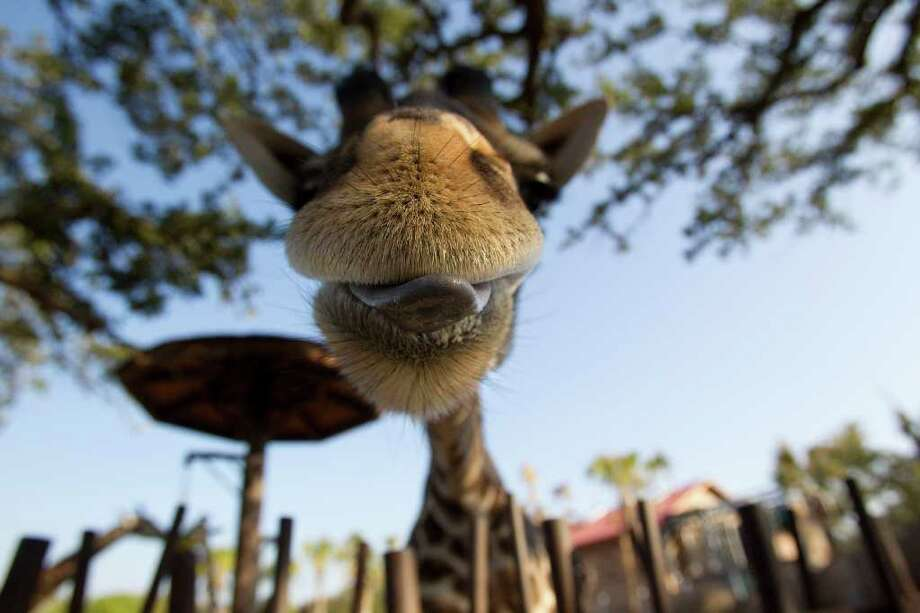 "JOHNNY HANSON : CHRONICLE MOUTH-WATERING: A giraffe licks its lips at the Houston Zoo, perhaps sensing a good outcome of the ""Gift of Grub"" campaign to help feed  the widely varied tastes of zoo residents. Photo: Johnny Hanson / © 2011 Houston Chronicle"