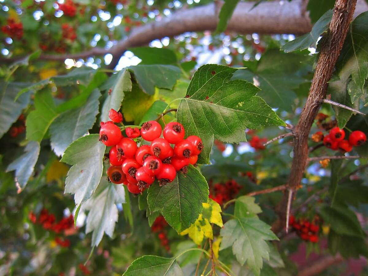 Washington thorn is a small tree that produces holiday berries. While not native, it is also not known to be a wildand invasive.
