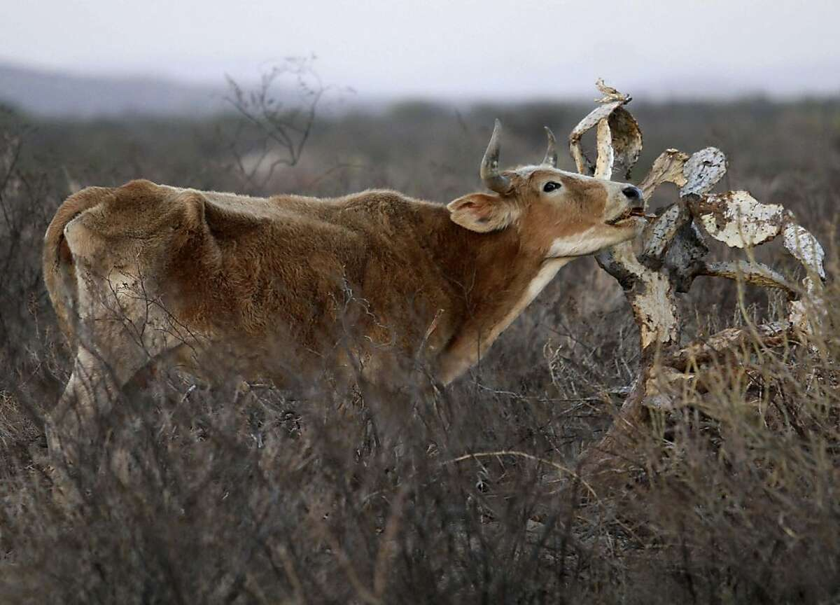A cow tries to eat from a dried out cactus on a field near the city of Torreon, Mexico, Thursday Dec. 1, 2011. Mexico is seeing the worst drought since 1941, when the country began recording rainfall. Drought will continue to plague northern Mexico during the winter months, and the situation will likely worsen, authorities said. (AP Photo/Alberto Puente) Ran on: 12-03-2011 A cow tries to eat from a dried out cactus on a field near Torreon in the Mexican state of Coahuila, one of the hardest hit in the countrys record dry spell.