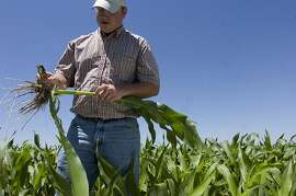 FILE - In this June 30, 2008 file photo farmer Nathan Weathers evaluates young corn stalks that will be used for  feed corn and silage for nearby cattle feeders and an ethanol plant in Yuma in Yuma, Colo. The amount of corn used by the ethanol industry and demand overseas has farmers worried if corn production drops sharply, feed costs could skyrocket, forcing them to reduce their herd size. That, they say, could result in smaller meat supplies and higher prices at grocery stores. (AP Photo/The Denver Post, Brian Brainerd, File)  Ran on: 12-04-2011 Corn is among the commodities covered in the most controversial programs of the farm legislation.