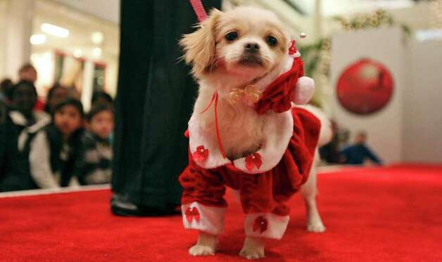 "Rosanna McDonald and ""Sadie"" take part in the Struttin' Pets Holiday Event Christmas Couture Contest presented by North Star Mall with the San Antonio Humane Society Monday Dec. 5, 2011 at the mall. The St. Nick pet pictures with Santa will be held Monday Dec. 12 from 6-9 p.m. at the mall costumes will be provided. Visti sahumane.org for more information. Photo: EDWARD A. ORNELAS, SAN ANTONIO EXPRESS-NEWS / © SAN ANTONIO EXPRESS-NEWS (NFS)"