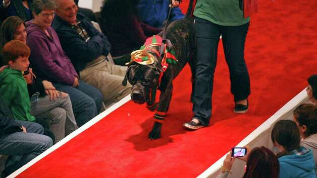 "Jessica Grof and ""Dexter"" take part in the Struttin' Pets Holiday Event Christmas Couture Contest presented by North Star Mall with the San Antonio Humane Society Monday Dec. 5, 2011. The St. Nick pet pictures with Santa will be held Monday Dec. 12 from 6-9 p.m. at the mall. Costumes will be provided. Visti sahumane.org for more information. Photo: EDWARD A. ORNELAS, SAN ANTONIO EXPRESS-NEWS / © SAN ANTONIO EXPRESS-NEWS (NFS)"