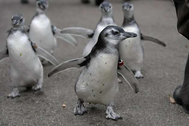 Five magellanic penguin chicks, four males and one female, race around the penguin enclosure through a crowd of excited children and their families at the San Francisco Zoo on Saturday. Photo: Audrey Whitmeyer-Weathers, The Chronicle