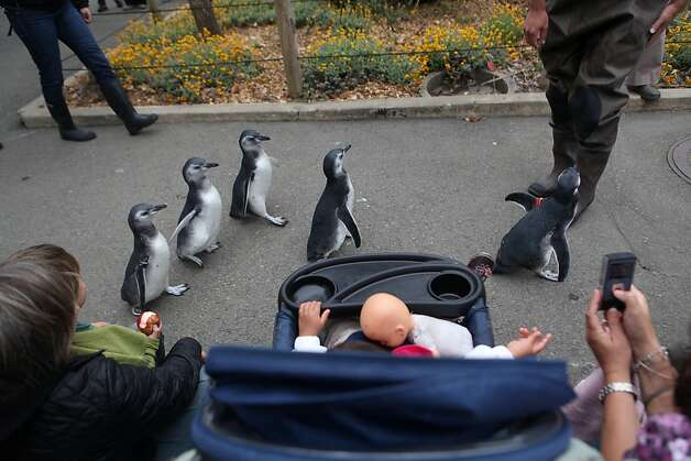 Zoo members and their children watch as the five newest penguins race around the penguin enclosure at the San Francisco Zoo on Saturday. Photo: Audrey Whitmeyer-Weathers, The Chronicle