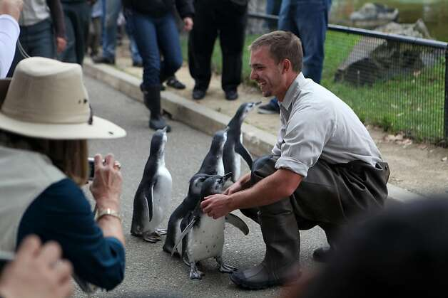 Penguin keeper Anthony Brown tries to slow the young penguins down who raced around the first part of the penguin enclosure at the San Francisco Zoo on Saturday. Photo: Audrey Whitmeyer-Weathers, The Chronicle