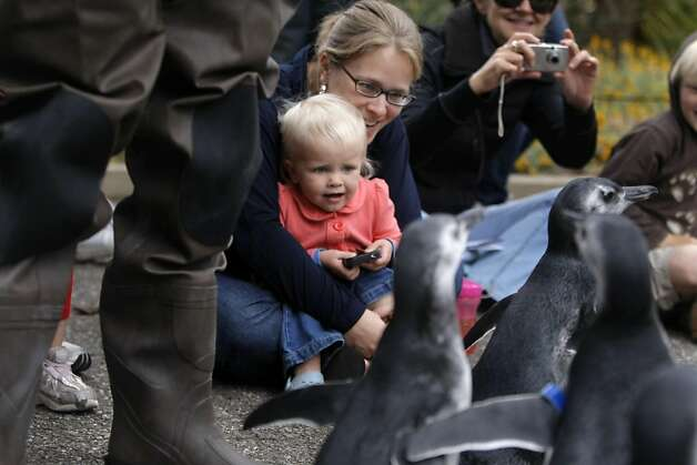 A little girl watches the group of penguin chicks zip past her at the San Francisco Zoo on Saturday. Photo: Audrey Whitmeyer-Weathers, The Chronicle