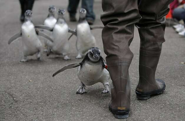 Penguin keeper Anthony Brown tries to slow down the five new magellanic penguins so zoo members and their families can see them waddle around the penguin enclosure at the San Francisco Zoo on Saturday. Photo: Audrey Whitmeyer-Weathers, The Chronicle