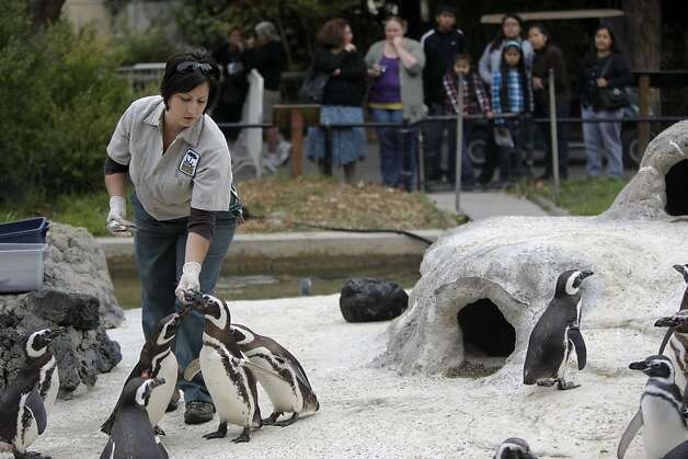 Penguin keeper Jen Katz feeds some of the older magellanic penguins at the San Francisco Zoo on Saturday. Photo: Audrey Whitmeyer-Weathers, The Chronicle