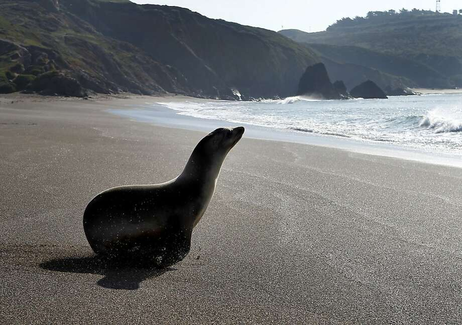 A male sea lion named Leopica pauses before diving into the surf at Rodeo Beach. Three California sea lions, nurtured back to health by The Marine Mammal Center were released back into the water at Rodeo Beach Tuesday December 6, 2011. The three suffered from bacterial infections and malnutrition. Photo: Brant Ward, The Chronicle