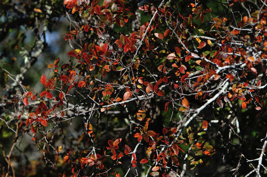 Fall foliage appears on trees at Government Canyon State Park on Tuesday, Dec. 6, 2011. Photo: KIN MAN HUI, SAN ANTONIO EXPRESS-NEWS / SAN ANTONIO EXPRESS-NEWS