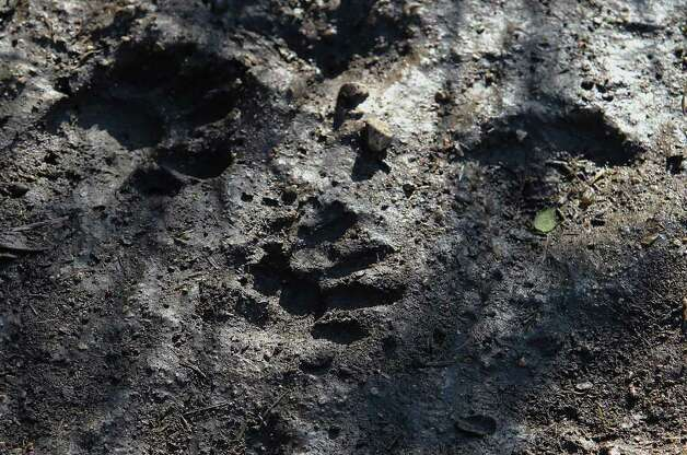Raccoon imprints are left along a muddy hiking path at Government Canyon State Park on Tuesday, Dec. 6, 2011. Addressing media at Government Canyon State Park, Carter Smith, Texas Parks and Wildlife excecutive director, made a plea for for people to use the state parks and for donations. Stricken by drought and wildfires this past year, state parks have suffered from the lack of visitors. Smith said revenues have declined 25 percent from last year. Kin Man Hui/kmhui@express-news.net Photo: KIN MAN HUI, SAN ANTONIO EXPRESS-NEWS / SAN ANTONIO EXPRESS-NEWS
