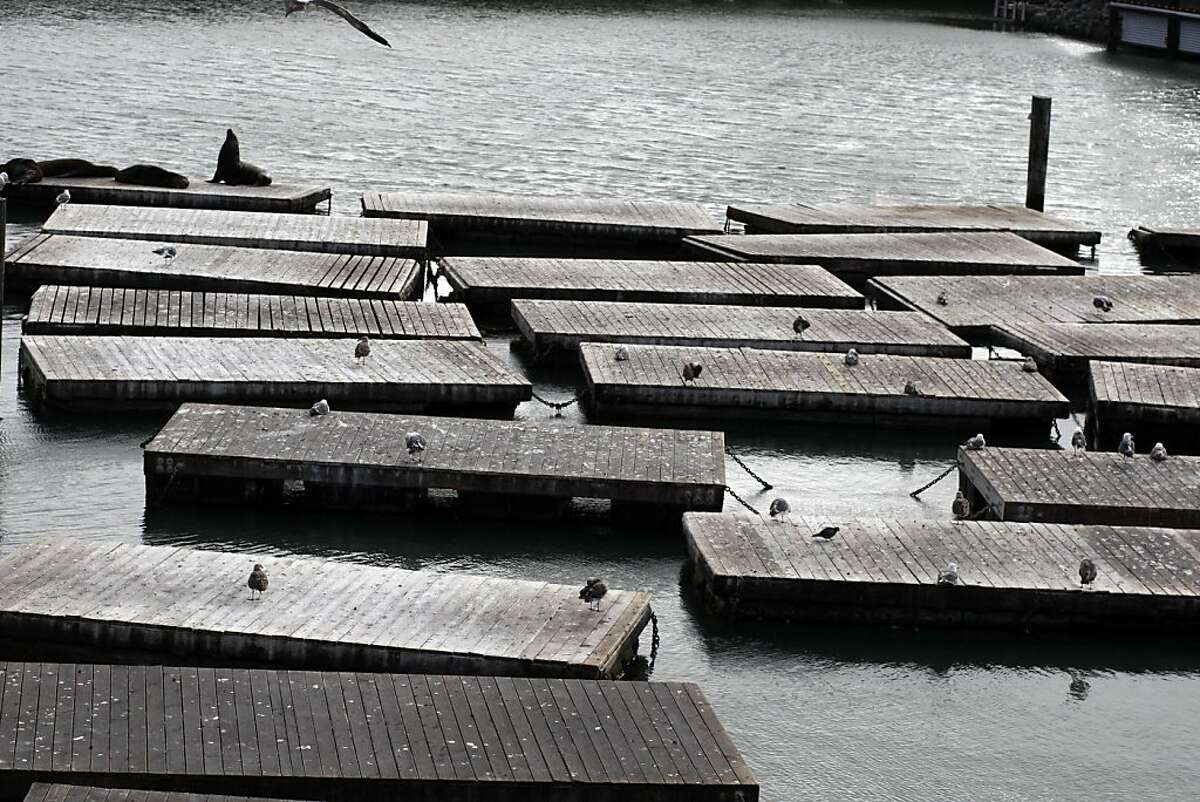Three sea lions lay on the docks at Pier 39 on Monday, July 18, 2011. While the docks are usually packed with sea lions, most of the sea lions left the pier to mate. Pier 39 is a popular hangout for tourists and San Franciscans alike.