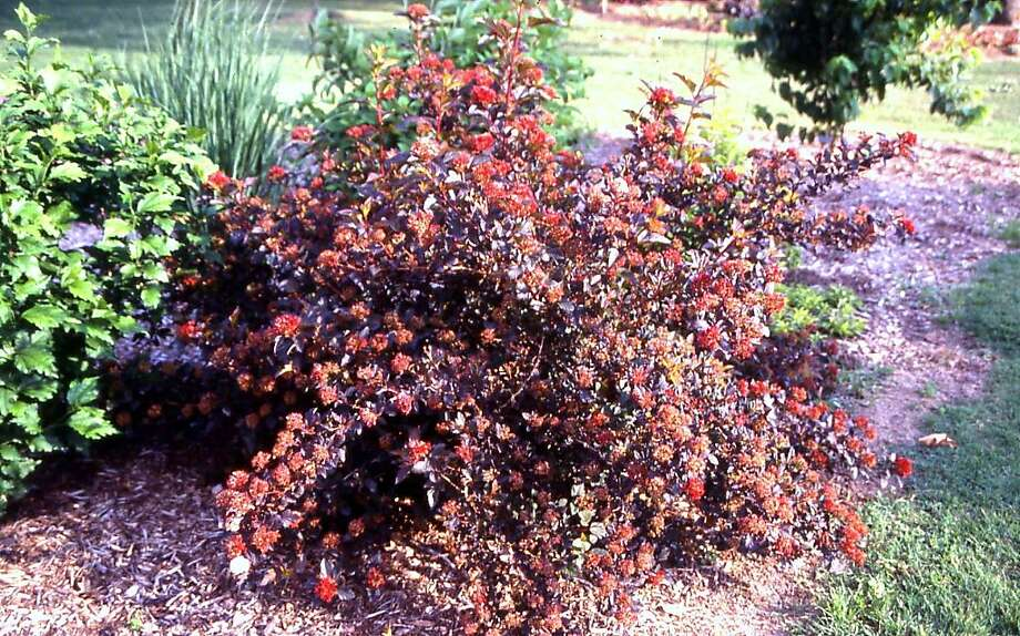 ninebark shrubs provide colorful foliage sfgate