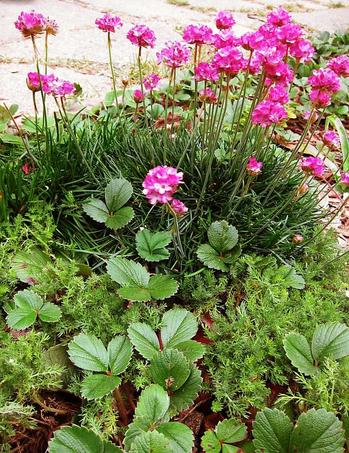 Sea pink, beach strawberry, and English chamomile are three good choices to grow under street trees in San Francisco and places with similar microclimates. . Photo: Pam Peirce
