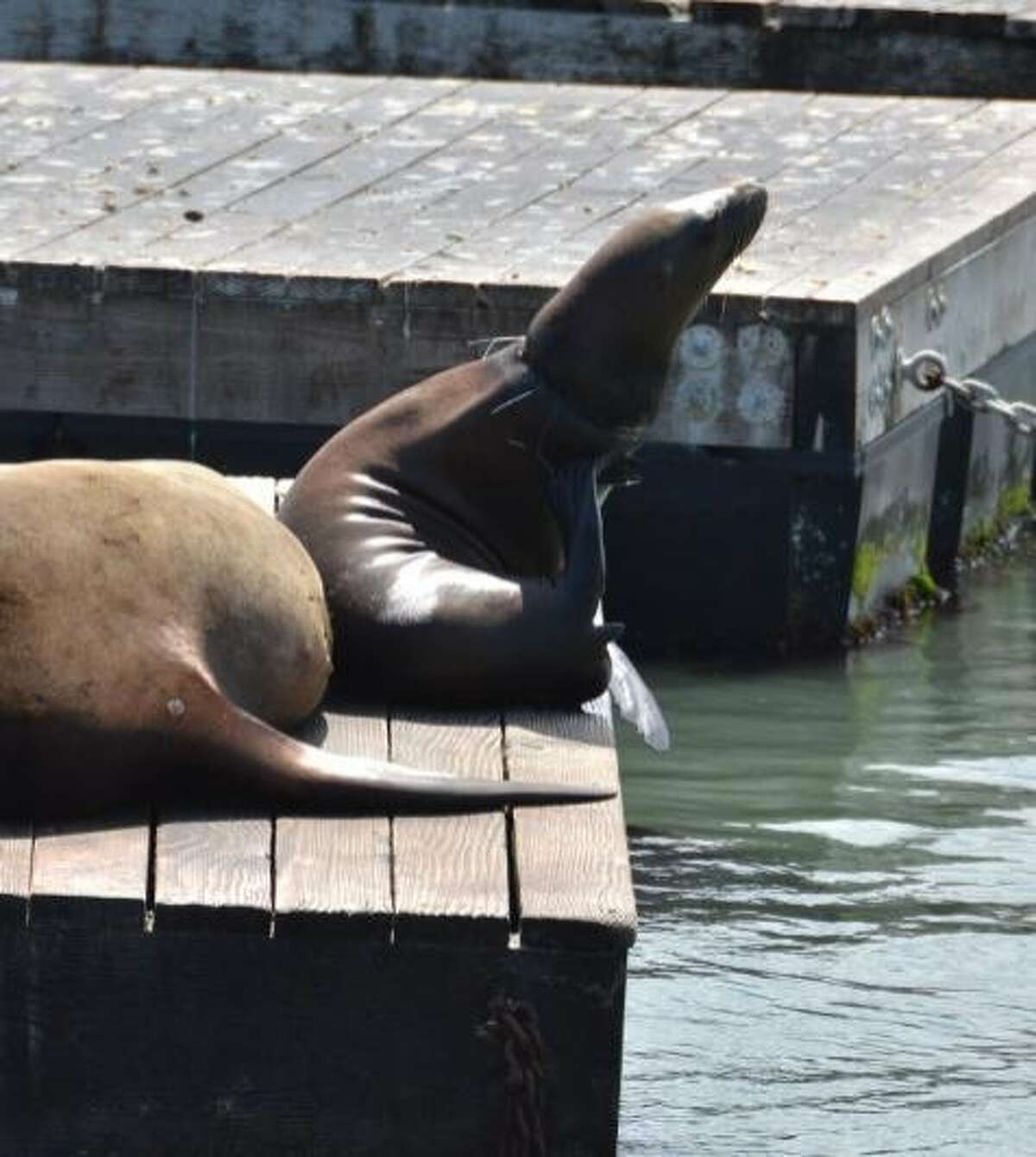 A sea lion at Pier 39, with what looks like fishing net tangled around its neck.