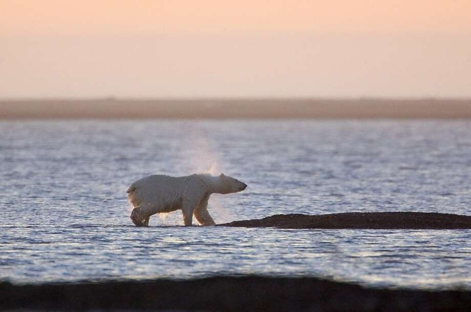 On 9/13/05 in Kaktovik AK as the sun sets on Barter Island a mother Polar Bear shakes off water after swimming to shore to feed on the leftover carcasses of bowhead whales.  For hundreds of years the bears have come during whale hunting season in a simbiotic relationship with the Inupiat Eskimos who are a subsistance hunting village. Photo: Kat Wade, SFC