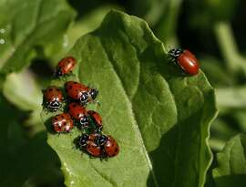 Ladybugs cluster on a leaf after students at Edna Maguire Elementary School released over 120,000 of the insects at the school's garden in Mill Valley, Calif., on Thursday, April 24, 2008. Photo by Paul Chinn / San Francisco Chronicle