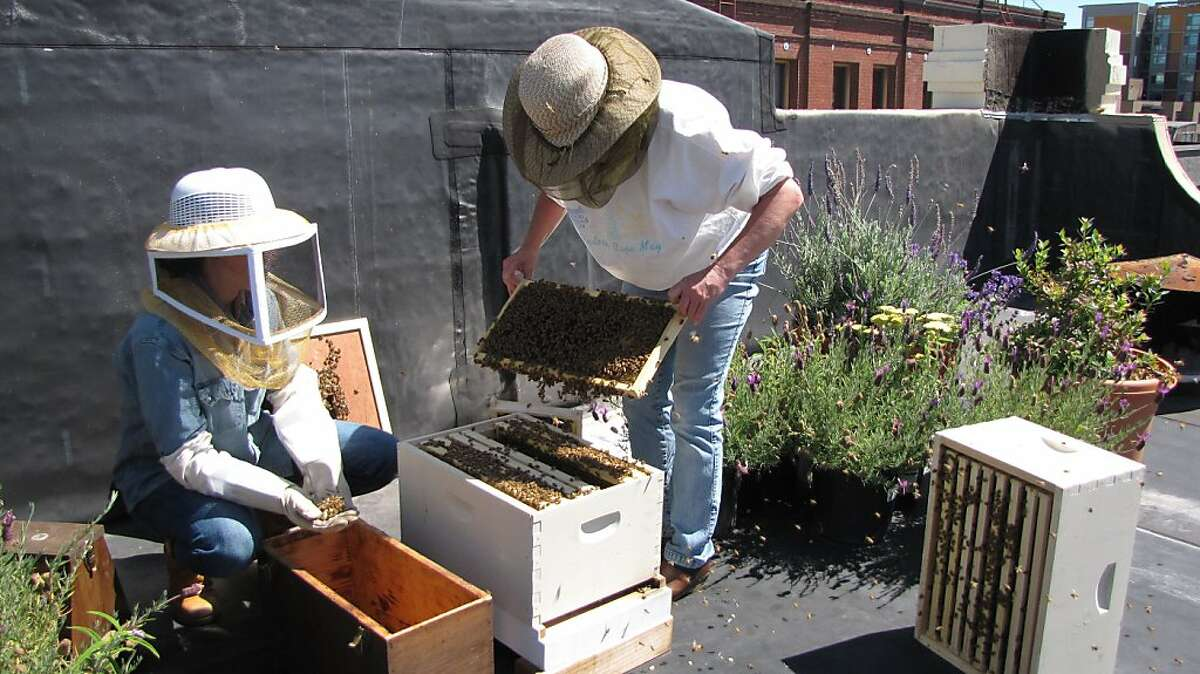S.F. beekeeper MaryEllen Kirkpatrick installs the queen cage in the new hive.