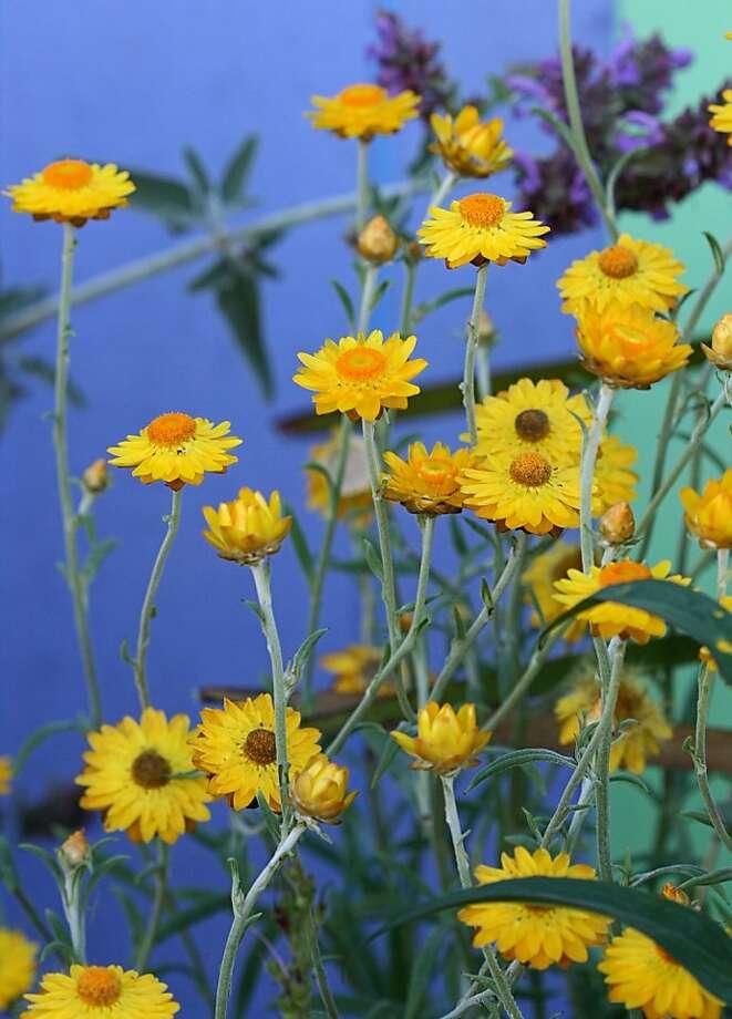 helichrysum bracteatum Photo: Annie's Annuals & Perennials