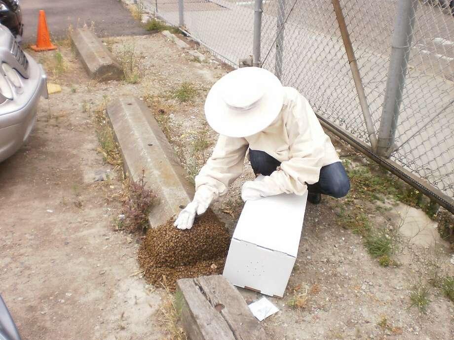 Collecting a honeybee swarm Photo: Lynne Char Bennett