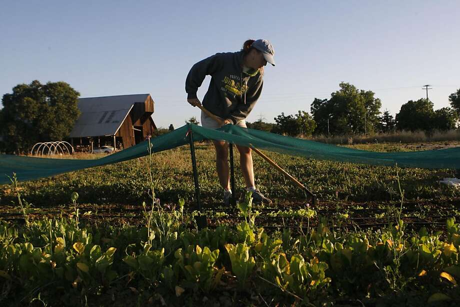 When she first began planting, Vonita Murray did not know about laying down black plastic to prevent excess weed growth so some of her rows, like many of her lettuce sections, need to be weeded frequently in Woodland Calif.,  on July 15, 2011. Photo: Audrey Whitmeyer-Weathers, The Chronicle