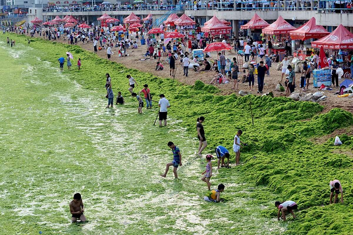 Chinese tourists play by the algae-filled coastline of Qingdao, in eastern China's Shandong province on July 17, 2011. Green algae continues to spread in waters off China's east coastline and although not poisonous, it can hinder the fishing industry andtourism in affected areas. CHINA OUT