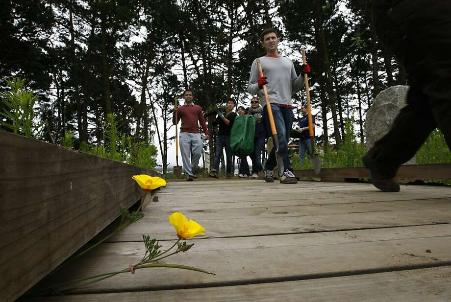 Volunteers replanting native plants, walk past yellow poppies growing through a new section of the Mountain Lake trail at the Presidio in San Francisco, Calif. on Saturday, July 16 2011. Photo: Paul Chinn, The Chronicle