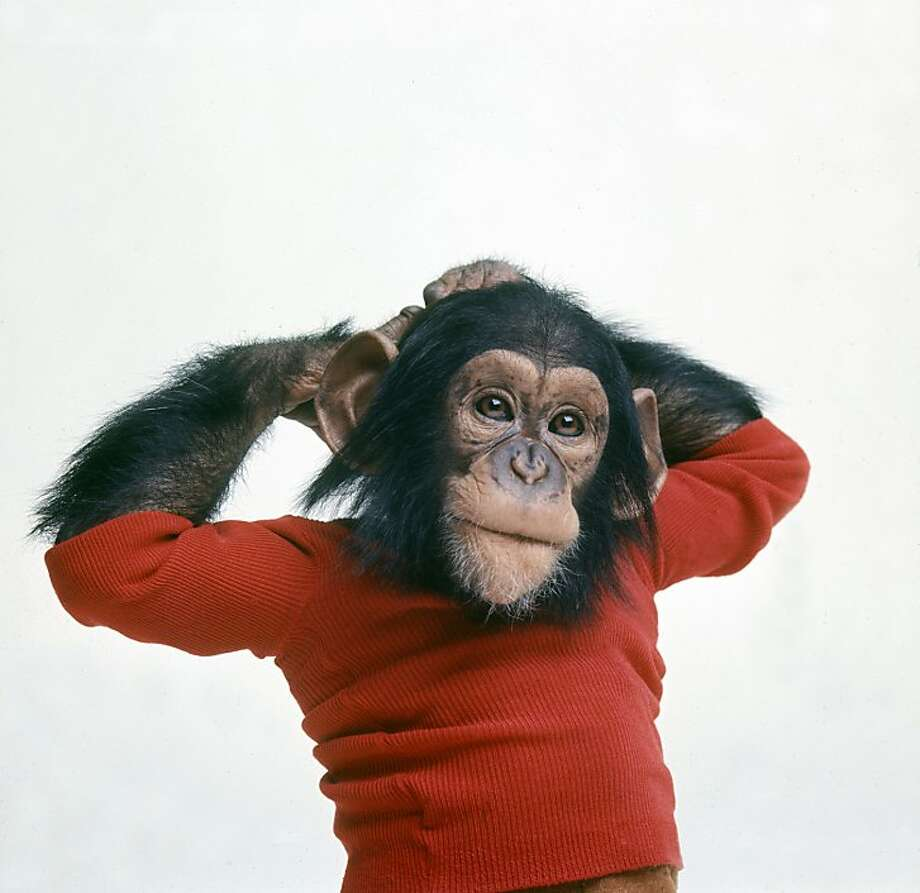 """Project Nim"": The chimp called Nim Chimpsky. Photo: Harry Benson, Roadside Attractions"