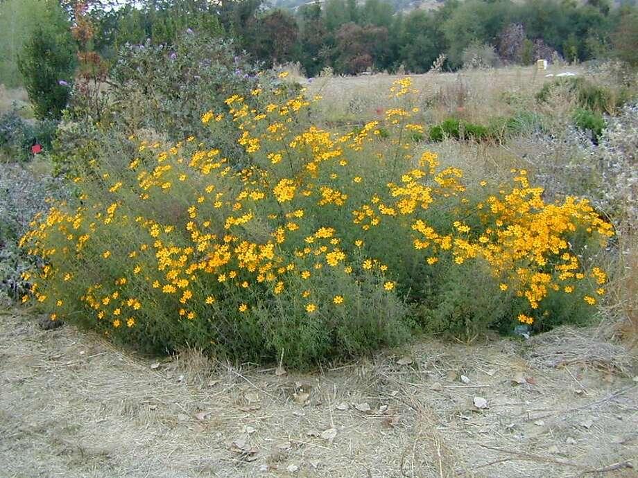 Tagetes lemmonii Photo: Mountain Valley Nursery