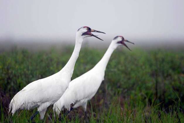 Whooping cranes Photo: EARL NOTTINGHAM, Texas Parks & Wildlife / handout