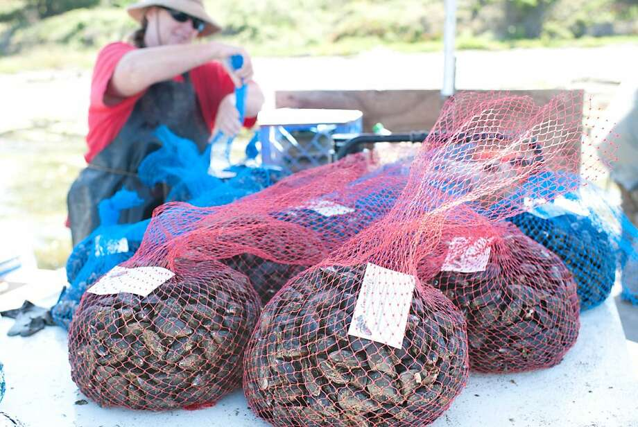Patti Collins bags mussels at Cove Mussel Co. in Marshall, CA. Cove Mussel Co. is one of the Bay Area fisheries that will supply fresh, sustainably caught seafood to Siren SeaSA, a subscription program that delivers fresh, local, sustainable seafood to Bay Area consumers. This shot was taken on Sunday July 3, 2011. Photo: James Collier